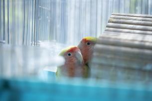 鳥小屋にいるかわいいペットのインコの写真素材 [FYI04311044]