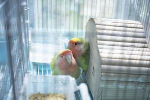 鳥小屋にいるかわいいペットのインコの写真素材 [FYI04311046]