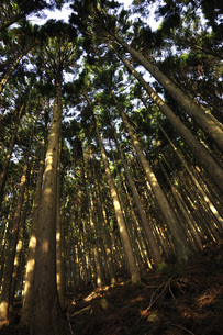 朝日の木漏れ日の写真素材 [FYI04311100]