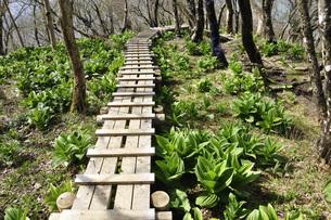 若葉を縫う木道の写真素材 [FYI04311161]