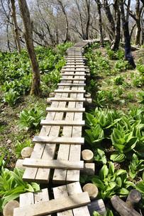 若葉を縫う木道の写真素材 [FYI04311162]