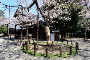 桜の標本木の写真素材 [FYI04311261]