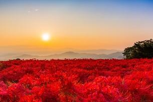 奈良県 御所市 彼岸花畑の写真素材 [FYI04311316]