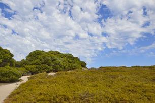 オーストラリア・西オーストラリア州のフリーマントルの沖合約18kmのインド洋に浮かぶロットネスト島の道の両側に生える草木と白い雲の光景の写真素材 [FYI04311358]
