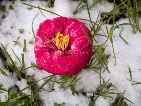 雪と椿の写真素材 [FYI04311509]