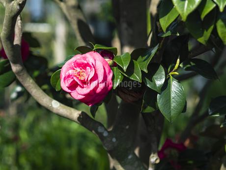 ピンクの椿の写真素材 [FYI04311511]