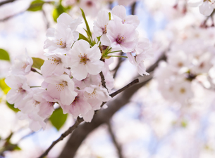 桜 cherry blossomsの写真素材 [FYI04311520]