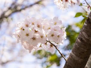 桜 cherry blossomsの写真素材 [FYI04311523]