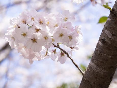 桜 cherry blossomsの写真素材 [FYI04311524]