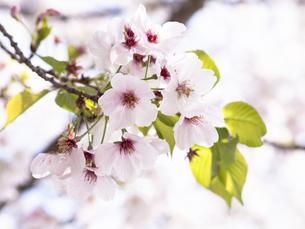桜 cherry blossomsの写真素材 [FYI04311527]