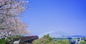 長崎県 桜 西海橋 (西海橋公園) の写真素材 [FYI04311557]