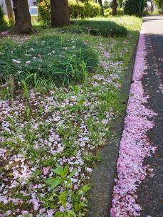 2020 桜散る 側溝に美しく調和するピンクの写真素材 [FYI04311771]