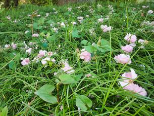 2020 桜散る 落ちた花が美しく調和の写真素材 [FYI04311776]