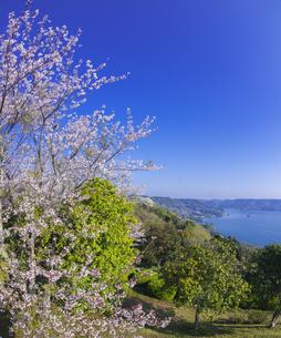 長崎県 桜 大山公園 の写真素材 [FYI04312057]