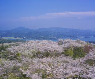 長崎県 桜 大山公園 の写真素材 [FYI04312067]