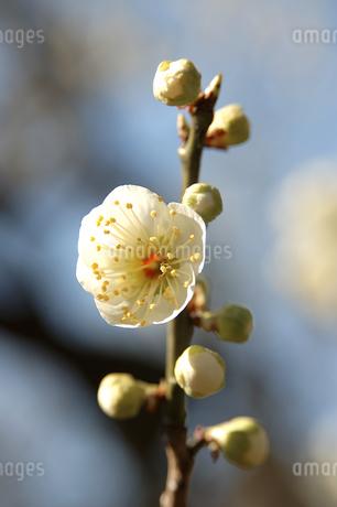梅の写真素材 [FYI04312173]