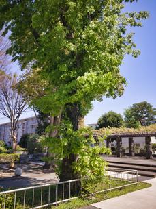 2020/4 珍しい樹木 枝が根元から伸びるの写真素材 [FYI04312244]