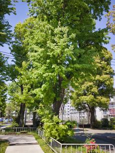 2020/4 公園の緑が美しい木 枝が根元から伸びる珍しい樹木の写真素材 [FYI04312245]