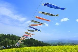 菜の花畑と鯉のぼりの写真素材 [FYI04312266]