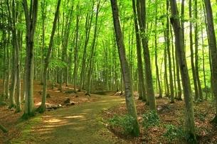新緑のブナ林の写真素材 [FYI04312280]