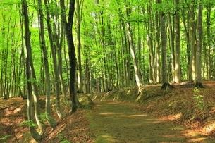 新緑のブナ林の写真素材 [FYI04312281]