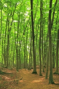 新緑のブナ林の写真素材 [FYI04312282]