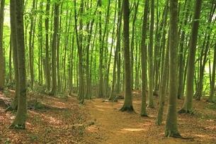 新緑のブナ林の写真素材 [FYI04312283]