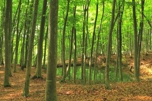 新緑のブナ林の写真素材 [FYI04312284]