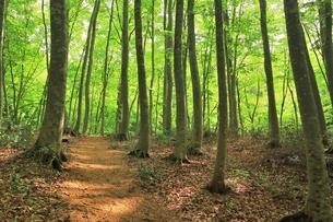新緑のブナ林の写真素材 [FYI04312286]