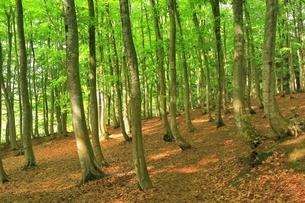 新緑のブナ林の写真素材 [FYI04312288]
