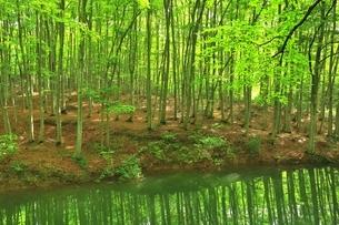 新緑のブナ林の写真素材 [FYI04312290]