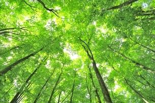 新緑のブナ林の写真素材 [FYI04312292]