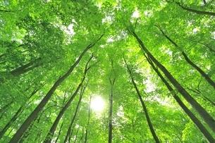新緑のブナ林と太陽の写真素材 [FYI04312294]
