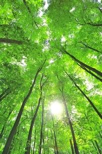 新緑のブナ林と太陽の写真素材 [FYI04312296]