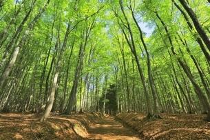 新緑のブナ林の写真素材 [FYI04312298]