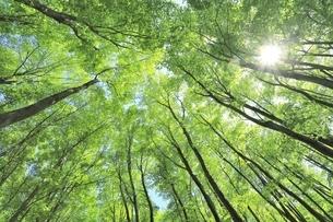 新緑のブナ林と太陽の写真素材 [FYI04312300]