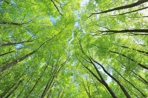 新緑のブナ林の写真素材 [FYI04312302]