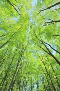 新緑のブナ林の写真素材 [FYI04312303]