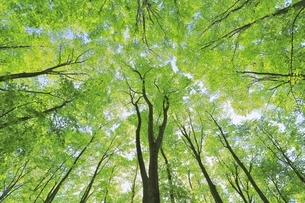 新緑のブナ林の写真素材 [FYI04312306]