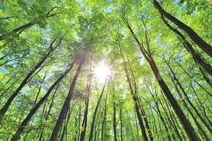 新緑のブナ林と太陽の写真素材 [FYI04312308]