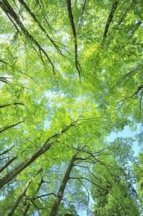 新緑のブナ林の写真素材 [FYI04312310]