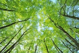 新緑のブナ林の写真素材 [FYI04312312]