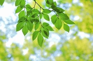 新緑のブナの若葉の写真素材 [FYI04312314]