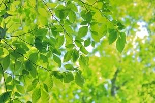 新緑のブナの若葉の写真素材 [FYI04312316]
