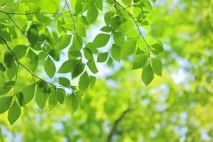 新緑のブナの若葉の写真素材 [FYI04312318]