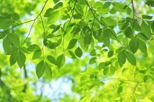 新緑のブナの若葉の写真素材 [FYI04312321]