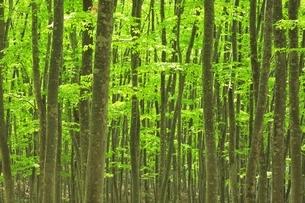 新緑のブナ林の写真素材 [FYI04312323]