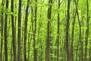 新緑のブナ林の写真素材 [FYI04312325]
