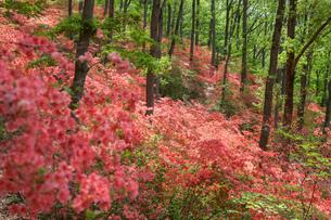 ヤマツツジの森の写真素材 [FYI04312563]