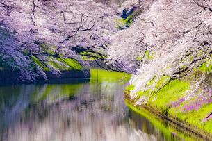 千鳥ヶ淵の桜の写真素材 [FYI04312616]